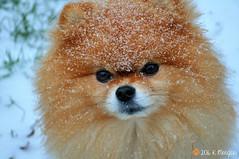 12.12.2016 Leo (kmmorgan1977) Tags: dogs snow oregon 2016 winter puppies pups puppyfun snowday pomeranian geminisleothelionhearted 12mfd 12monthsfordogs16