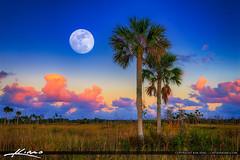Moon Rise Pine Glades Natural Area Jupiter Florida Purple Sky (Captain Kimo) Tags: aurorahdr2017 cabbagepalm captainkimo easyhdr florida floridalandscape hdrphotography jupiter palmbeachcounty pinegladesnaturalarea moonrise