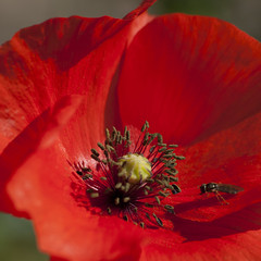 Attirance **---+° (Titole) Tags: hoverfly stamen poppy red titole nicolefaton squareformat 15challengeswinner thechallengefactory