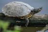 Schildkröte an der Saar bei Hamm (Konz, Rheinland-Pfalz) (08/05/2016 -09) (Cary Greisch) Tags: carygreisch deu germany hamm konz rheinlandpfalz saar schildkröte