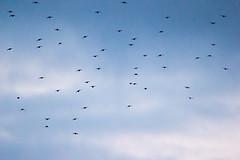 Brockholes November 2016-6230 (James Carlsson) Tags: d7200 starling brockholes nikon tamron 150 600mm murmuration