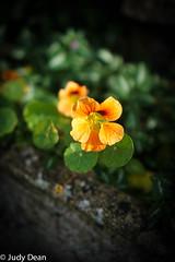 Nasturtium (judy dean) Tags: judydean 2016 sonya6000 nasturtium pot garden orange flowers autumn