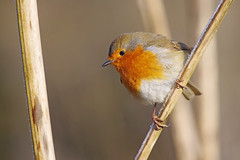 Robin 1 (Hugobian) Tags: hmwt amwell nature reserve winter frost pentax k1 cold robin bird birds british fauna wildlife animal