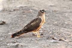 Pallid Harrier ♀ Circus macrourus (Roger Wasley) Tags: pallid harrier female circus macrourus velavadar national park gujarat india bird prey indian asia