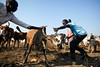 Abyei: Communities in Limbo (Albert Gonzalez Farran) Tags: abyei dinka fao misseryia southsudan sudan animals arabs cattle cow farmer farmings tribalconflict tribes vaccine vaccionation agok southsudansudan