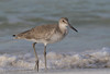 Willet (Gary McHale) Tags: willet north beach fort de soto county park florida