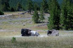Bison (shutterdoula) Tags: yellowstone uppergeyserbasin