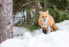 Red Fox (NicoleW0000) Tags: red fox snow winter carnivore wild animal wildlife photography