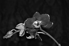 Empress Orchid (flowergirlaaa) Tags: orchid booktitle 7dos 7daysofshooting week27 blackandwhitewednesday flower bw oriental empressorchid phalaenopsis