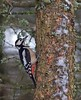 Great Spotted Woodpecker (penlea1954) Tags: nature reserve dumfries galloway scotland uk outdoor dumfriesshire bird castle loch lochmaben great spotted woodpecker dendrocopos major