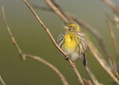 Serin - Serinus serinus (Gary Faulkner's wildlife photography) Tags: serin sussexbirds