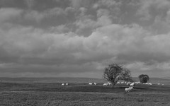 No.7a_bw (Tom Bellfield) Tags: pentax k5 fa43 hayonwye wales landscape blackandwhite sheep