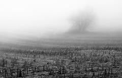 Cornfield (marcmayer) Tags: mist nebel misty nikon d5200 nikkor 50mm f18 baum tree corn field maize mais black white