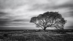 Lone Tree At The Salt Marsh (Mike Schaffner) Tags: bw blackwhite blackandwhite branches coastal estuary grass lowtide marsh marshland monochrome oquinnestuary saltmarsh seagrass tidal tree water wetlands hitchcock texas unitedstates us