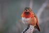 Red throat (bodro) Tags: allens allenshummingbird bolsachica bird brightred ecologicalreserve golden lateafternoonlight male perch wetlands