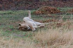 Löwin / Lioness (brainstorm1984) Tags: big5 lioness moremiwildreservat safari moremigamereserve desertdeltasafaris lion pantheraleo botswana wildlife löwin wildfelinephotography campmoremi okavangodelta löwe bigfive northwestdistrict botsuana bw