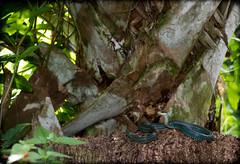 Drymobius maragaritiferus - Speckled Racer (Ben L. Stupavsky) Tags: drymobius margaritiferus speckled racer snake reptile animal wildlife nature sabal palm tree cameron county texas canon habitat green wideangle