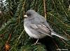 Dark-eyed Junco in Spruce Tree (--Anne--) Tags: bird birds junco nature wildlife spruce pine tree animal slatecolored darkeyed