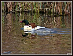 Mr and Mrs Goosander. (postman.pete) Tags: heron wednesday ride robins gull black thrush frame wivenhoetrail duck wagtail tufted red shank goosander ice lumix