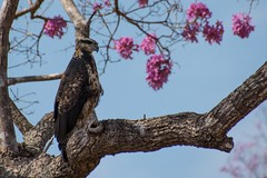 Great Black Hawk (Imm.) In Puiva Blossom Tree (Barbara Evans 7) Tags: great black hawk in puiva blossom tree pantanal brazil barbara evans7