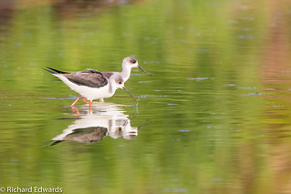 Black-winged Stilts - *Explore