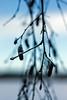 blue magic (Janne Fairy) Tags: bokeh canon canon500d eos500d eis ice schnee snow winter time period winterzeit blue blau magie pflanze birke birch tree depthoffield