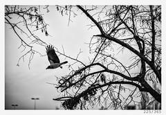 flight of the crow (Aljaž Anžič Tuna) Tags: 225 225365 365 flight crow bird animal animalportrait flying trees naturallight nikond800 nikkor nikkor85mm nice nature 85mmf18 f18 photo365 project365 please onephotoaday onceaday 35mm 365challenge 365project d800 dailyphoto day monocrome monochrome bw blackandwhite black blackwhite beautiful white sky