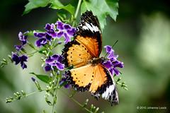 "Viceroy Butterfly With Flowers (Aruba) (runintherain) Tags: runintherain canon450dxsi canon canonxsi caribbean lesserantilles flora nature outdoor animals butterflies bokeh flowers aruba ""netherlands"" abcislands dutchcaribbean arubabutterflyfarm oranjestad"