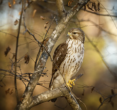 "Sitting pretty (5'20"") Tags: hawk birds wildlife nature predator magiclight raleigh forest trees hunter redshoulderedhawk jonathanfredin nik durant nc"