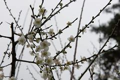 DSC_1217 (chenjn) Tags: d600 nikon 2470mm 妖怪村 柳家梅園 taiwan 信義鄉 梅花
