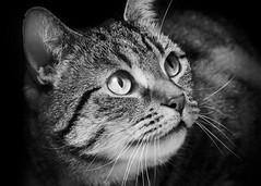 'Fudge Catches Light' (Jonathan Casey) Tags: cat potrait blackandwhite tabby d810 nikon zeiss carlzeiss 135mm apo