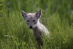 Coyote pup (a56jewell) Tags: coyote summer baby field grass pup greenyoung a56jeell