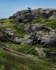"Manana Goats (24""x30"") (JMichaelSullivan) Tags: 100v island maine goats 600v 200v monhegan manana 500v 700v 300v 5f 400v mpae mjs2015"