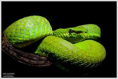 Trimeresurus popeiroum (Thor Hakonsen) Tags: snakes animalia reptiles vertebrates reptilia vipers chordata serpentes vertebrata squamata viperidae reptiler slanger trimeresuruspopeiorum trimeresuruspopeorum popeiapopeorum