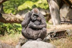 2015-07-09-12h00m24.BL7R7096 (A.J. Haverkamp) Tags: zoo rotterdam blijdorp gorilla dierentuin diergaardeblijdorp thabo tamani westelijkelaaglandgorilla httpwwwdiergaardeblijdorpnl canonef100400mmf4556lisusmlens pobrotterdamthenetherlands pobapeldoornthenetherlands dob13031993 dob18042015