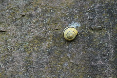 a snail hopefully waiting for better times at a mossy wall. (Etching Stone) Tags: house wall waiting time quote sleep dream shell snail worry times hopefully hurry slime better mossy electricsheep
