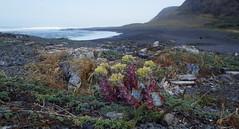 Punta Gorda driftline garden (Jeff Goddard 32) Tags: california flowers beach driftwood puntagorda humboldtcounty lostcoast dudleya tideline driftline