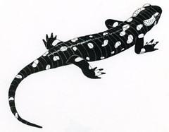 "Salamandra <a style=""margin-left:10px; font-size:0.8em;"" href=""http://www.flickr.com/photos/134196373@N08/19659612934/"" target=""_blank"">@flickr</a>"