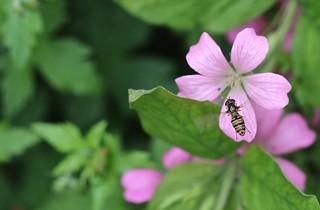 hover fly in flight - Episyrphus Balteatus