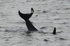 Tika K33 tail slap (SanJuanOrcas) Tags: ocean sea wild island san juan wildlife killer whale orca cetacean
