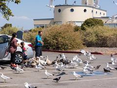 Feeding the Birds at the Baylands (donjd2) Tags: california us unitedstates seagull feedingthebirds paloalto paloaltobaylands
