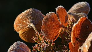 gefrostete Hortensie