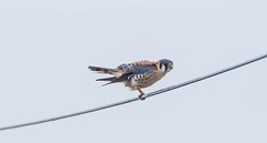 840A7441 (rpealit) Tags: scenery wildlife nature wallkill river national refuge area american kestrel falcon bird