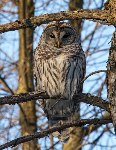 Chouette Rayée, Barred owl.Strix varia.