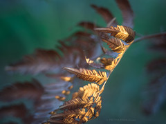 Soaked in gold (Petra Ries Images) Tags: farn fern helios8930mmf19 bokeh vintagelens manualfocus manuallens swirl painterly gold