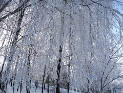 Winter in Lithuania (07) (rimasjank) Tags: frost snow winter cold tree branches lithuania lietuva