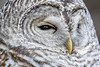 Beauty in Detail (sfdonald) Tags: barred owl winter chouette detail portrait ontario chouetterayee closeup