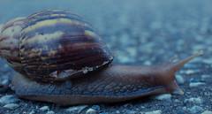 IMG_3085-2 (DFitzgeraldPhotography) Tags: okinawa japan snails giantafrican snail road saved slow slimy animal