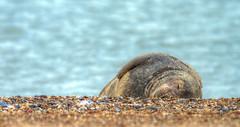 Sleepy Grey seal (HungerforLight) Tags: greyseal nature wildlife sea norfolk seal halichoerusgrypus