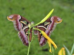 Archeoattacus edwardsii (f) (Green Baron Pro) Tags: 200903 malaysia moth frasershill brinchang saturniidae